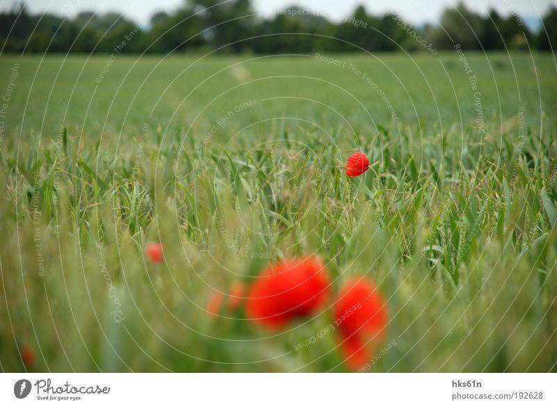 Mohnlandschaft Natur grün schön Sommer Erholung rot ruhig Leben Freiheit Zufriedenheit Feld Ausflug Wohlgefühl Duft harmonisch Sommerurlaub