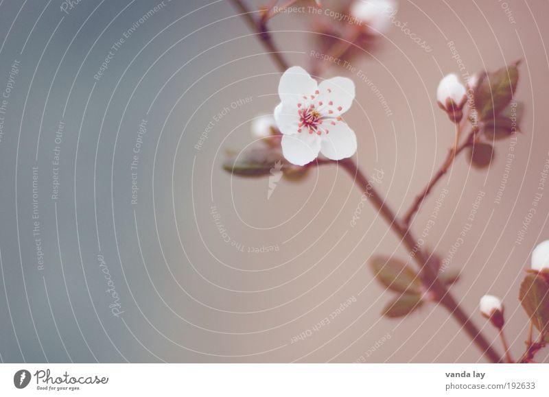 Blütenzauber Natur schön Blume Pflanze Blatt Frühling weich harmonisch Zweig Mai Kirschblüten Juni