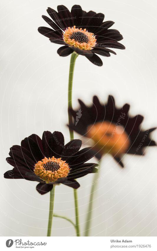 Dunkle Margeriten elegant Design Dekoration & Verzierung Tapete Trauerfeier Beerdigung Natur Pflanze Sommer Blume Blüte Topfpflanze Stauden Garten Park Blühend