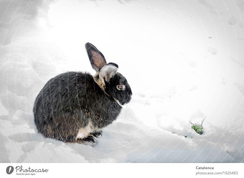 Süß | putziges Kaninchen Natur Pflanze Tier Winter Klima Schnee Gras Garten Hase & Kaninchen 1 beobachten entdecken hocken frei Fröhlichkeit schön kuschlig