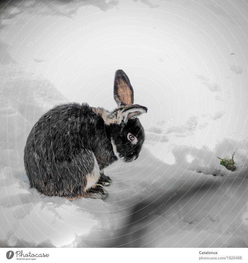 Kaninchen Natur Pflanze Tier Winter Schnee Gras Wiese Haustier Hase & Kaninchen 1 beobachten hocken warten schön kalt kuschlig niedlich rosa schwarz weiß