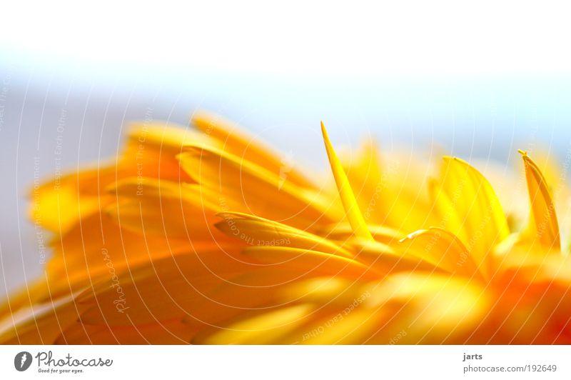 ....blume Natur schön Blume Pflanze Sommer ruhig gelb Blüte Frühling träumen Zufriedenheit glänzend frisch natürlich Gelassenheit Duft
