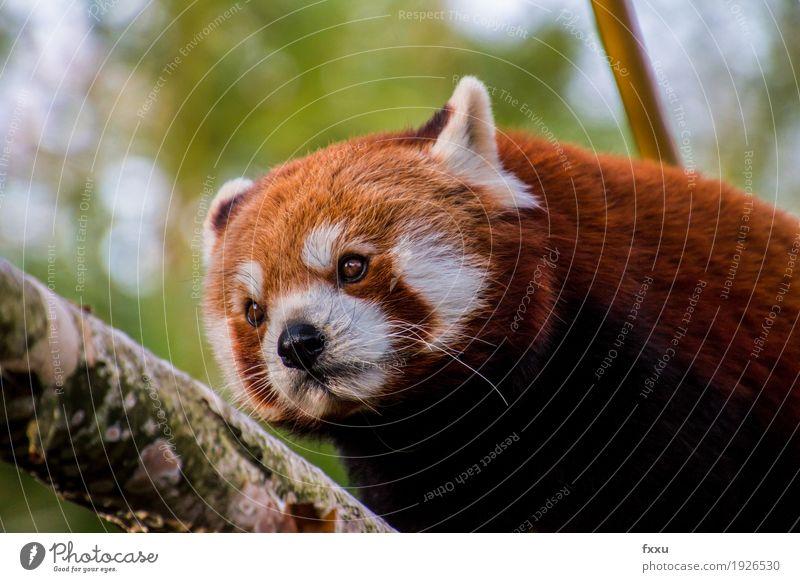 Roter Panda Natur Tier Wildtier Fell Zoo Glück Lebensfreude Farbfoto Außenaufnahme Menschenleer Tag Unschärfe Starke Tiefenschärfe Porträt Tierporträt