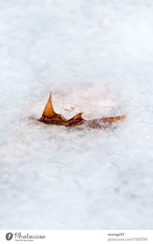 Eingeschlossen Natur Pflanze Winter Eis Frost Blatt Teich frieren fest frisch kalt nah nass natürlich trocken braun weiß ruhig Selbstbeherrschung Ausdauer