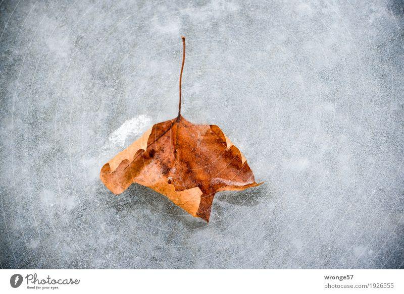 Prima Klima | Eiszeit Natur Pflanze Winter Frost Blatt Teich alt kalt braun grau weiß Herbstlaub Herbstfärbung Zentralperspektive Querformat Farbfoto