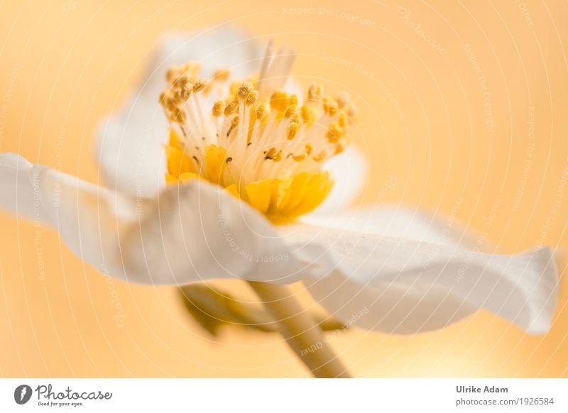 Christrose (Helleborus niger) Natur Pflanze Frühling Winter Blume Nutzpflanze Wildpflanze Blütenstempel Garten Park Alpen Berge u. Gebirge Blühend frisch schön