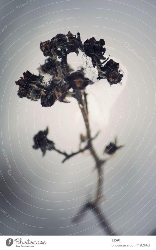 himbeereis Umwelt Natur Pflanze Winter Wetter Eis Frost Schnee Sträucher Wildpflanze Himbeerbusch Dorn Himbeeren Wiese Feld dunkel kalt trist braun grau schwarz