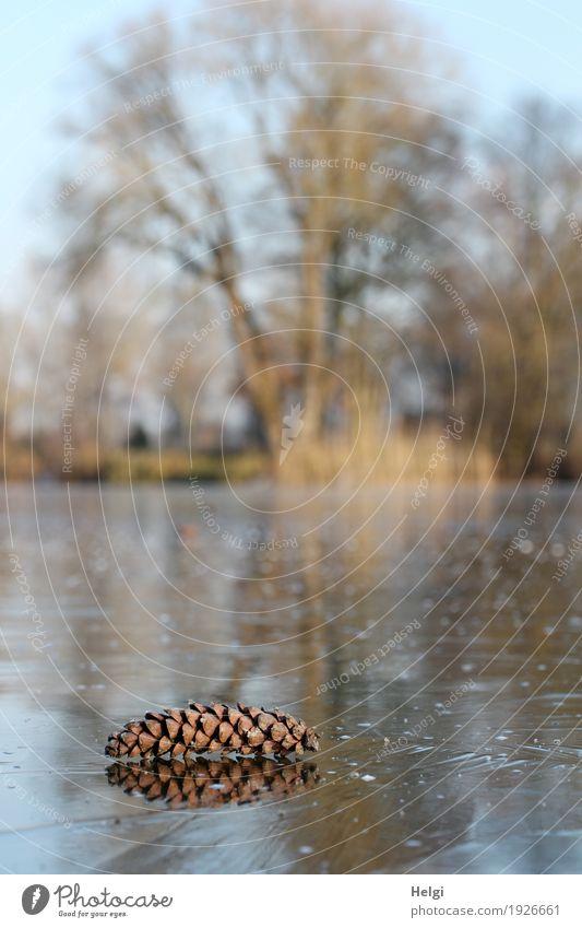 zugefroren Umwelt Natur Landschaft Pflanze Winter Schönes Wetter Eis Frost Baum Wildpflanze Schilfrohr Zapfen Seeufer frieren liegen stehen authentisch