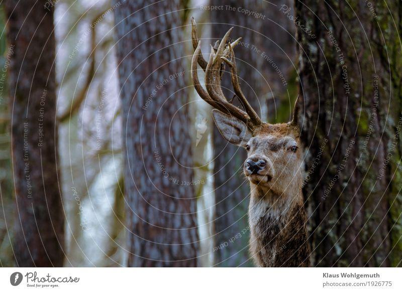 Majestät Natur Baum Tier Winter Wald Umwelt Herbst grau braun beobachten Neugier Fell Jagd Zoo Horn Hirsche
