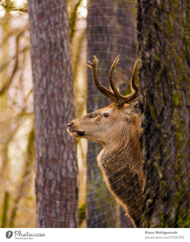 Wegsehen Natur grün Baum Tier Winter Wald Umwelt Herbst braun ästhetisch warten beobachten Jagd Tiergesicht Zoo Hirsche