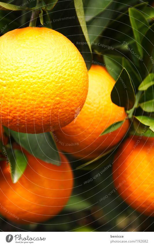 O orange Frucht Zitrusfrüchte Orangensaft Orangenbaum orangenfrucht Baum frisch Saft Orangenschale Blatt Unschärfe Tiefenschärfe 4 hängen hängend Orangenhain