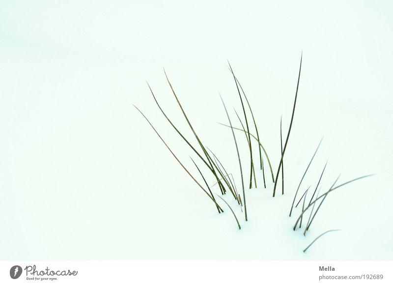 Der Widerspenstigen Struppigkeit Natur weiß Pflanze Winter ruhig kalt Schnee Wiese Gras Eis hell Wetter Umwelt Wachstum Frost Klima