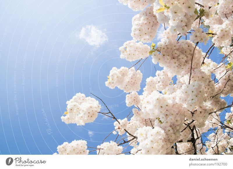 Frühling ?? Natur schön weiß blau Pflanze hell rosa frisch Schönes Wetter Kirschblüten Himmel Wolkenloser Himmel