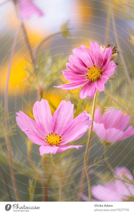 Schmuckkörbchen (Cosmea, Kosmee ,Cosmos) elegant Design einrichten Dekoration & Verzierung Tapete Bild Poster Postkarte Natur Pflanze Sonnenlicht Sommer Herbst