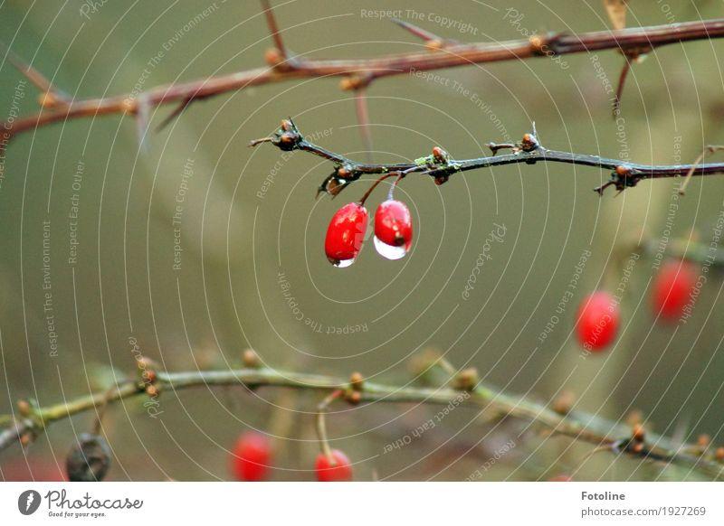 im Regen Umwelt Natur Pflanze Urelemente Wasser Wassertropfen Herbst schlechtes Wetter Sträucher Flüssigkeit nah nass natürlich braun grün rot schwarz