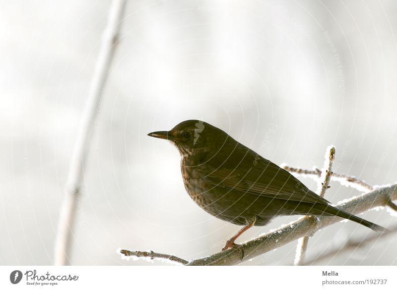 Amselwinter Umwelt Natur Tier Winter Eis Frost Schnee Pflanze Ast Wildtier Vogel 1 hocken sitzen frei hell kalt klein natürlich Freiheit Pause Farbfoto