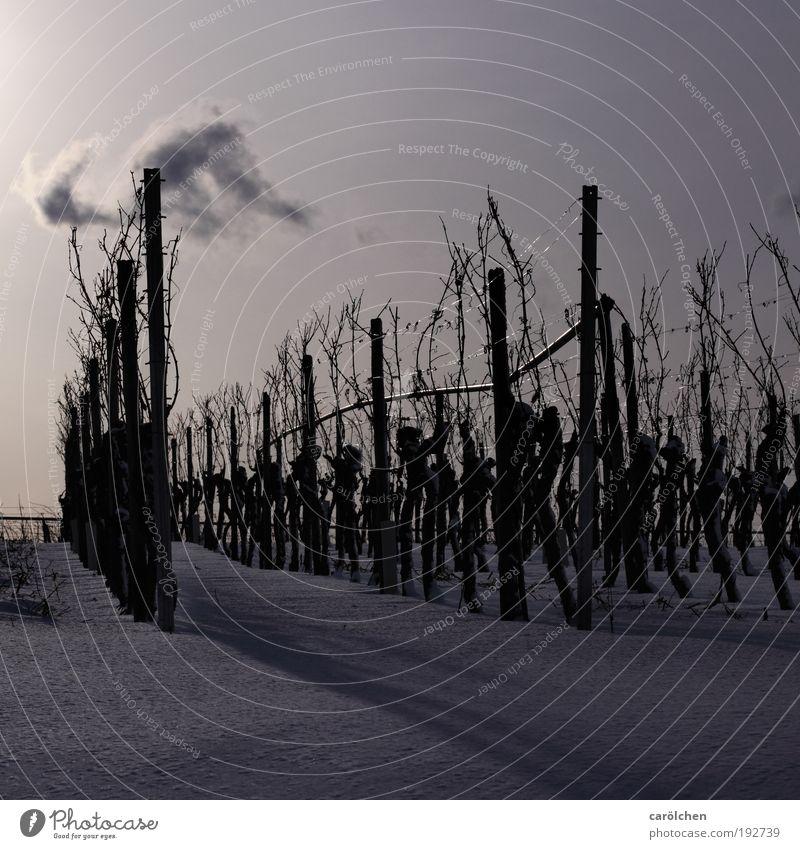 Mono Kultur Umwelt Natur Landschaft Sonnenlicht Winter Schnee Nutzpflanze Feld silber weiß Weinbau Weinberg Monokultur Reihe Landwirtschaft kalt Außenaufnahme