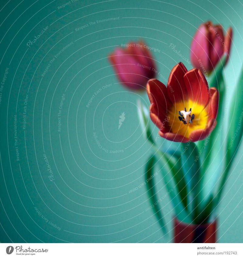 Tulpen inside grün schön rot Freude Blume Blatt gelb Farbe Blüte Glück Frühling orange Raum Glas Wohnung frisch