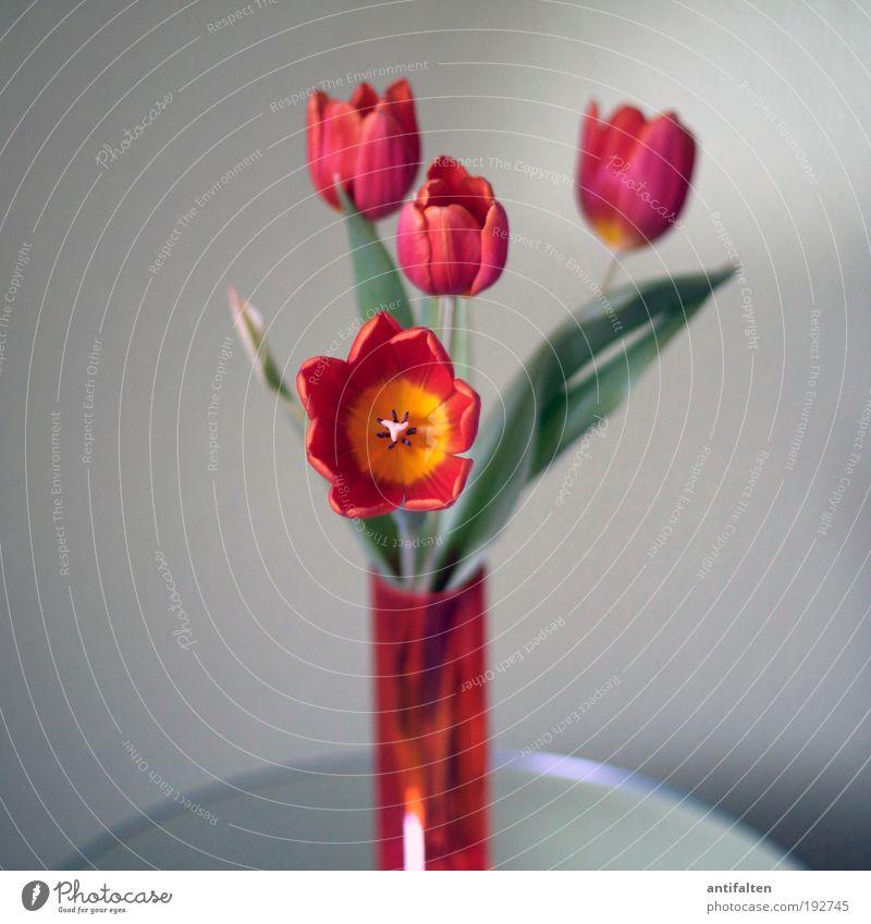 Tulpen inside II grün schön Pflanze rot Sommer Blume Blatt gelb grau Blüte Glück Frühling orange Zeit rosa Glas