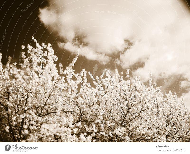 Kirschblüte Kirschblüten Baum Blüte Duplex Sonnentag