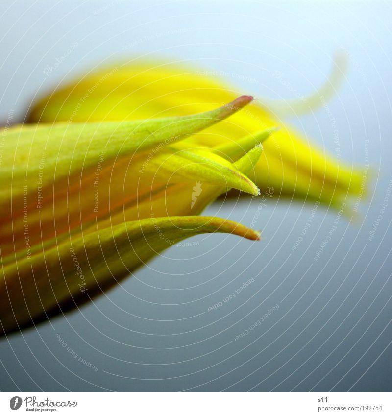 Tülpchen Natur Pflanze Frühling Blume Tulpe Park ästhetisch Duft elegant frisch nah niedlich schön Spitze gelb grün Fröhlichkeit Frühlingsgefühle Vorfreude