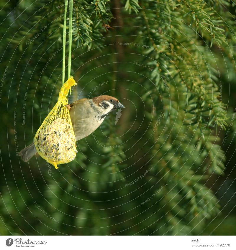 MEINS! Garten Natur Pflanze Tier Frühling Winter Baum Vogel 1 Brunft Fressen füttern grün Appetit & Hunger Völlerei Pause Zufriedenheit Spatz Vogelfutter