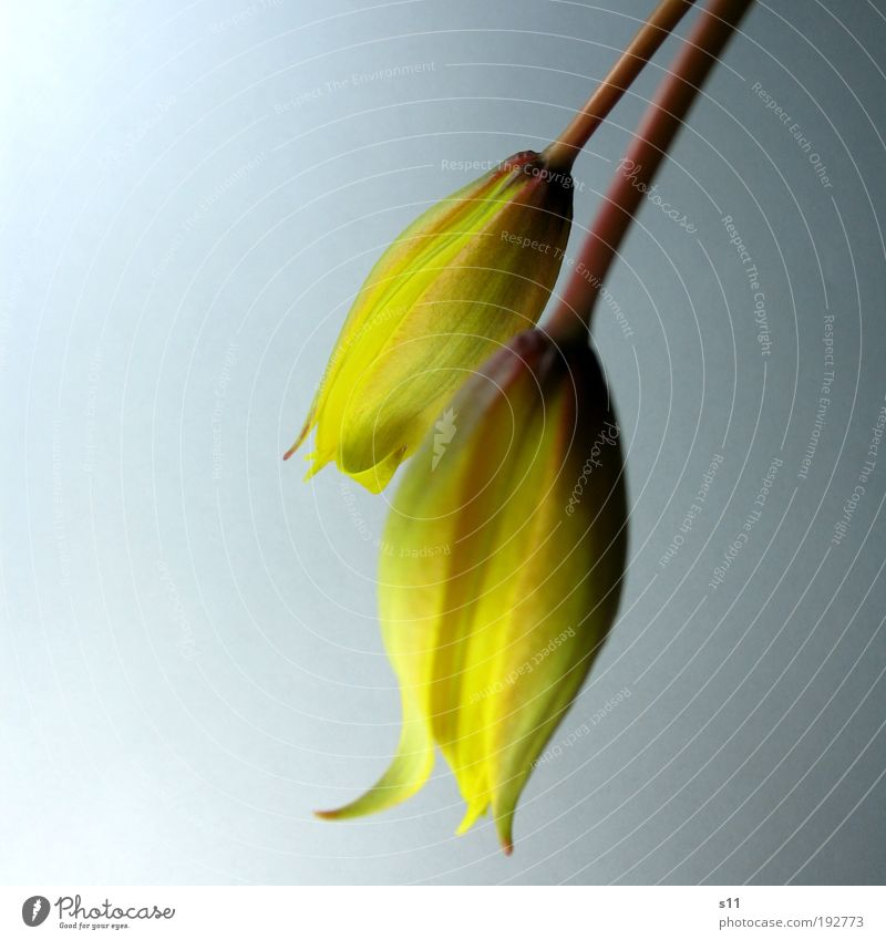 Tülpchen II Natur Pflanze Frühling Blume Tulpe Blüte Park ästhetisch Duft authentisch elegant frech frisch schön nah Spitze gelb Frühlingsgefühle Kraft