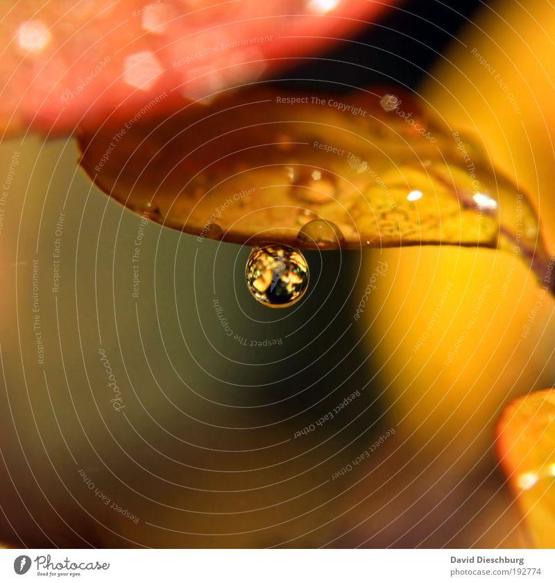Tropfen im Herbst Natur Pflanze Blatt gelb Leben braun Regen glänzend gold Wassertropfen nass harmonisch Stillleben Herbstlaub