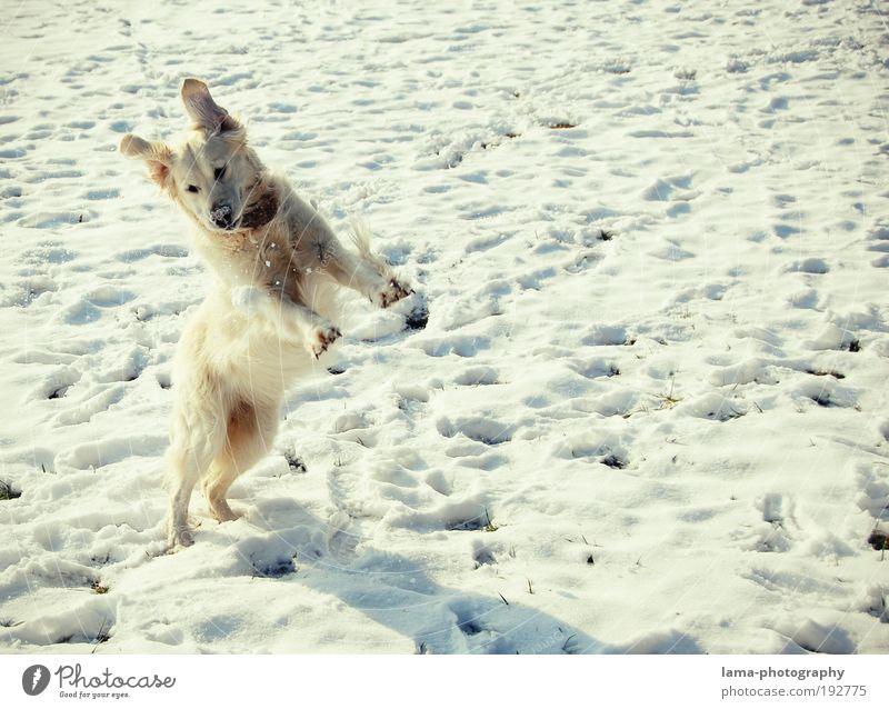 Schneehase Natur weiß Freude Winter Tier springen Spielen Hund frei Fröhlichkeit Schönes Wetter Haustier Umwelt Gassi gehen