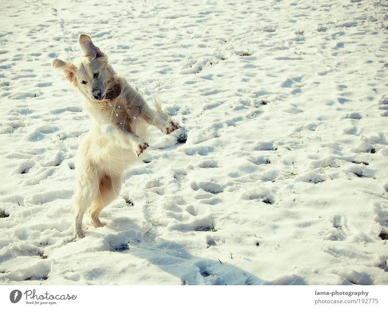 Schneehase Natur Winter Schönes Wetter Tier Haustier Hund Golden Retriever 1 Schneebälle Spielen springen frei Fröhlichkeit weiß Freude Gassi gehen Farbfoto