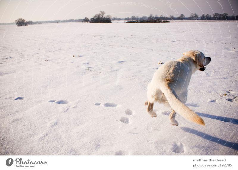 IMMER DEN SPUREN HINTERHER Natur Himmel weiß Sonne Winter Tier kalt Schnee Wiese springen Spielen Hund Landschaft Eis hell Feld