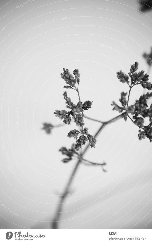 untitled I Umwelt Natur Landschaft Pflanze Winter Wetter Eis Frost Schnee Gras Wildpflanze Wiese Feld frieren kalt trocken grau schwarz weiß Stengel