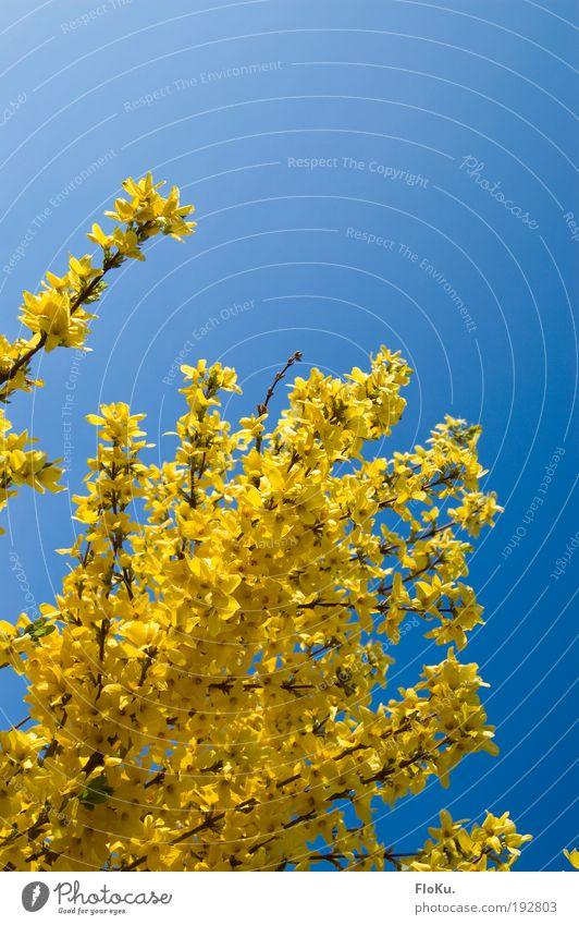 Frühlingsfarben Umwelt Natur Pflanze Himmel Wolkenloser Himmel Wetter Schönes Wetter Sträucher Blüte glänzend hell schön blau gelb Glück Fröhlichkeit