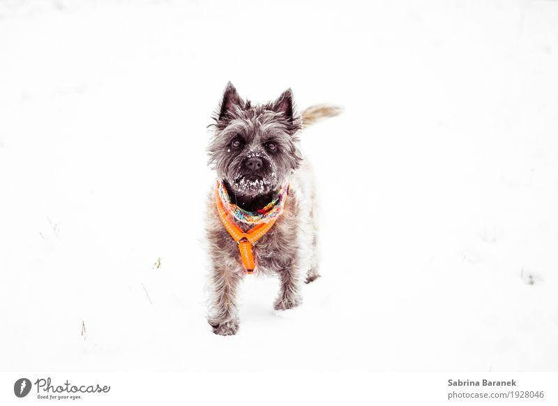Cairn Terrier im Schnee Hund weiß Tier kalt lustig feminin Spielen klein braun orange wild ästhetisch laufen Coolness weich Neugier