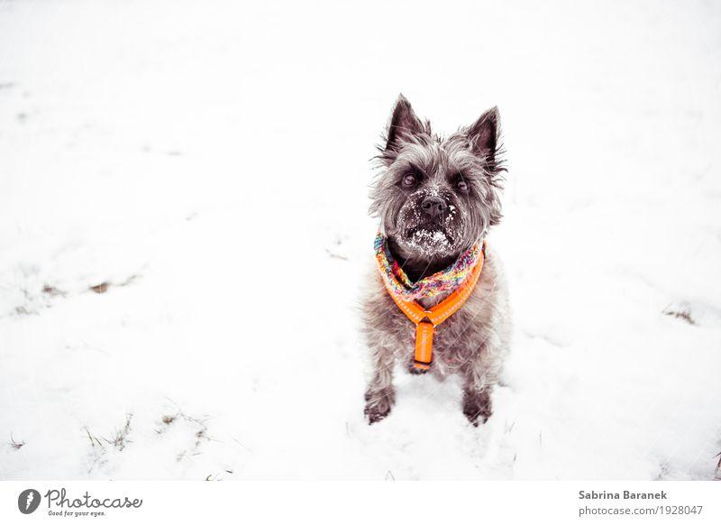 Cairn Terrier im Schnee II Tier Haustier Hund Fell Pfote 1 frech Freundlichkeit Fröhlichkeit kalt kuschlig stark weich braun mehrfarbig orange weiß Farbfoto