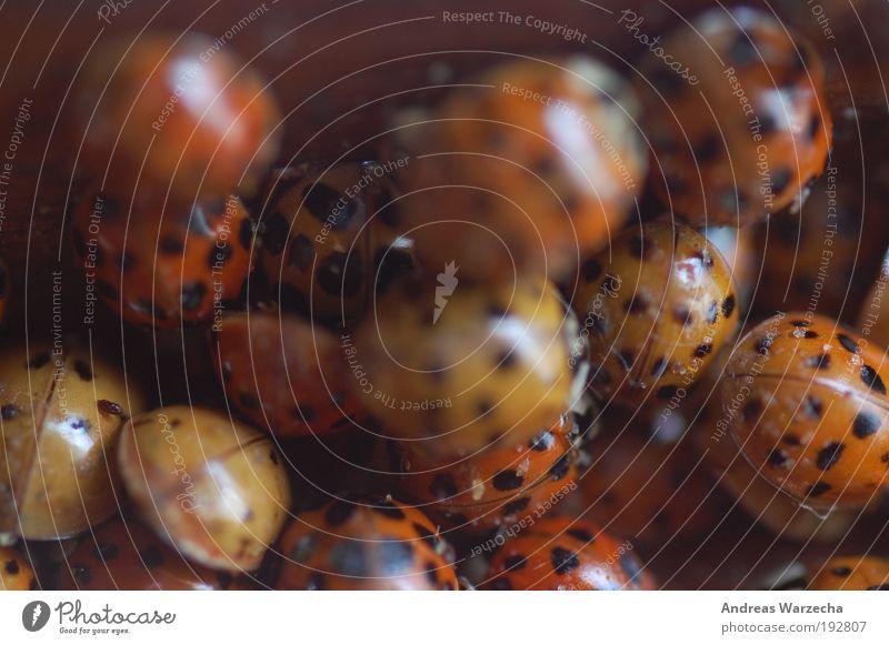 Marienkäfer Versammlung rot schwarz Tier Tod glänzend mehrere Tiergruppe Insekt viele Käfer bewegungslos Makroaufnahme gepunktet mehrfarbig