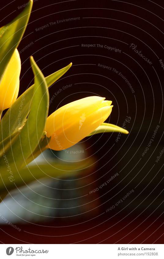 totally tulip Natur Pflanze grün Blume Blatt schwarz gelb Wiese natürlich Glück Stimmung Kunst glänzend Park wild elegant