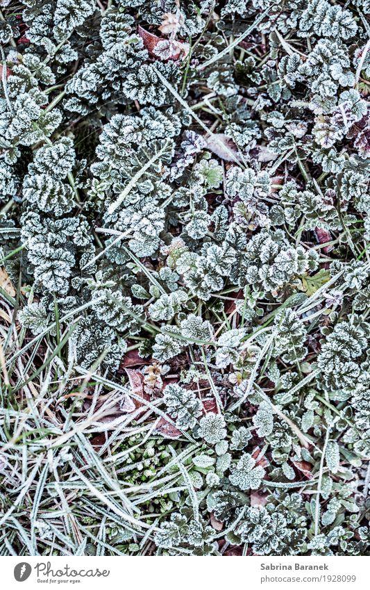 Frost II Natur Pflanze Tier Winter Eis Blatt Grünpflanze Wildpflanze Garten Park Wiese kalt Umwelt Farbfoto Gedeckte Farben Außenaufnahme Nahaufnahme