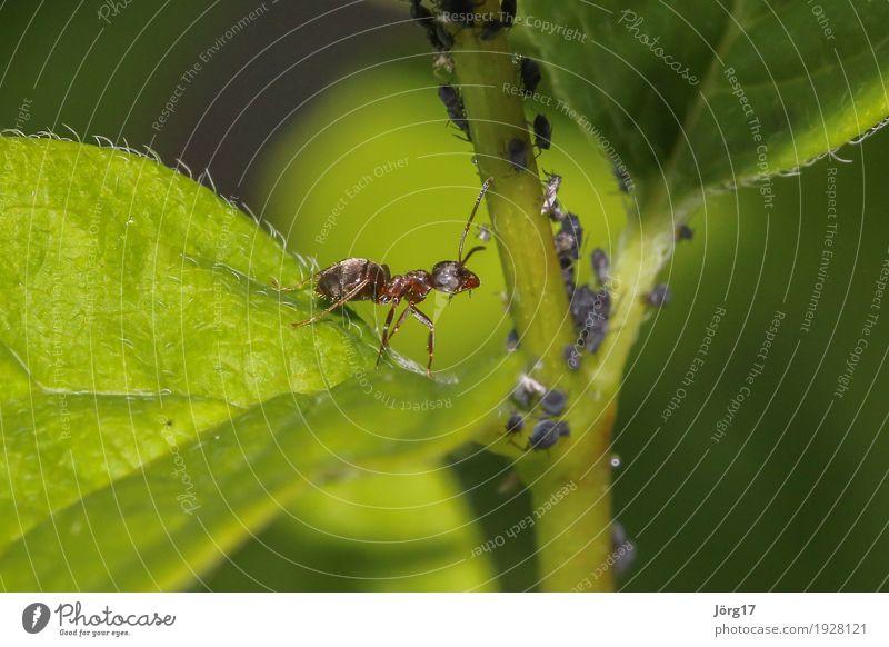 Ameise Natur Tier Wildtier Ameise insekt Blattläuse Nahaufnahme Makroaufnahme
