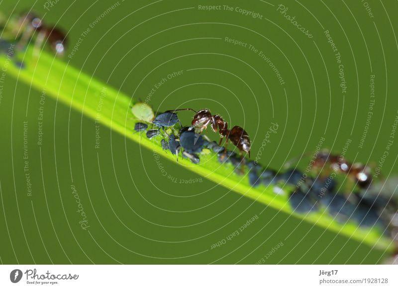 Ameise Tier Wildtier Blattläuse Fressen Natur Farbfoto Nahaufnahme Makroaufnahme