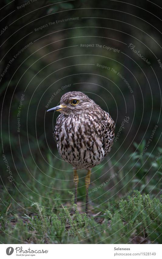 Regenpfeifer Natur Tier Umwelt Wiese natürlich Gras Garten Vogel Park Wildtier nah Moos Tiergesicht Kaptriel