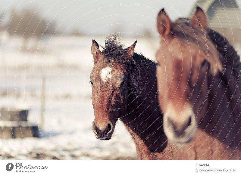 Ross (Anthony) blau weiß Tier schwarz braun elegant wild Tierpaar Coolness Pferd Nutztier Herde füttern