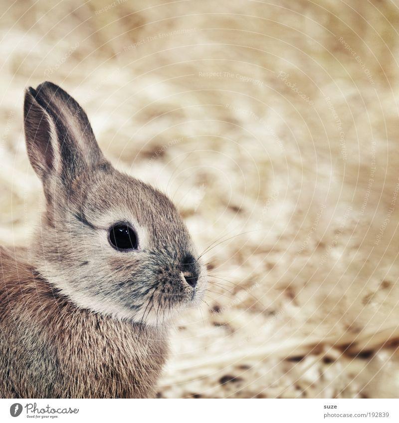 Hasi Tier klein braun niedlich weich Ohr Fell tierisch Haustier Säugetier Hase & Kaninchen Stroh Tierliebe Stall Osterhase Blick