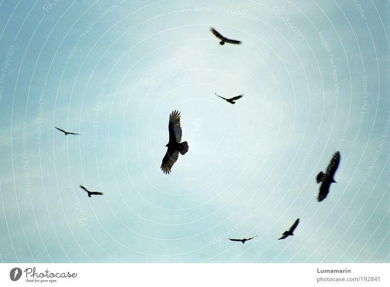 unter Geiern Himmel Tier Umwelt Tod fliegen Stimmung Vogel Luft Wildtier warten gefährlich Tiergruppe Kreis bedrohlich Macht Wachsamkeit