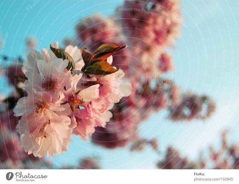 Kirschblüte Umwelt Natur Pflanze Himmel Wolkenloser Himmel Sonnenlicht Frühling Schönes Wetter Baum Blüte schön Wärme blau rosa weiß Glück Vorfreude Kirschbaum