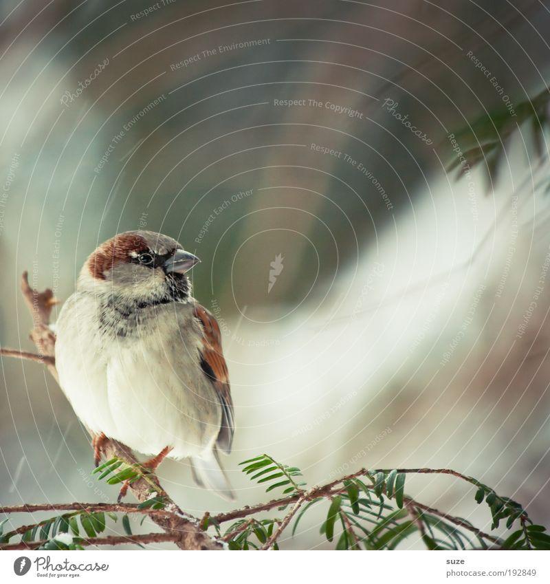 Spatzerl Natur Tier Winter klein natürlich Garten braun Vogel sitzen Wildtier warten niedlich Feder Ast Jahreszeiten Zweig