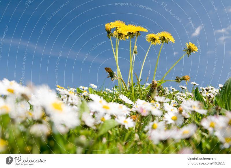 Regenwurmperspektive Umwelt Natur Pflanze Himmel Wolkenloser Himmel Frühling Klima Wetter Schönes Wetter Blume Gras Blatt Blüte Wiese blau gelb grün Farbe