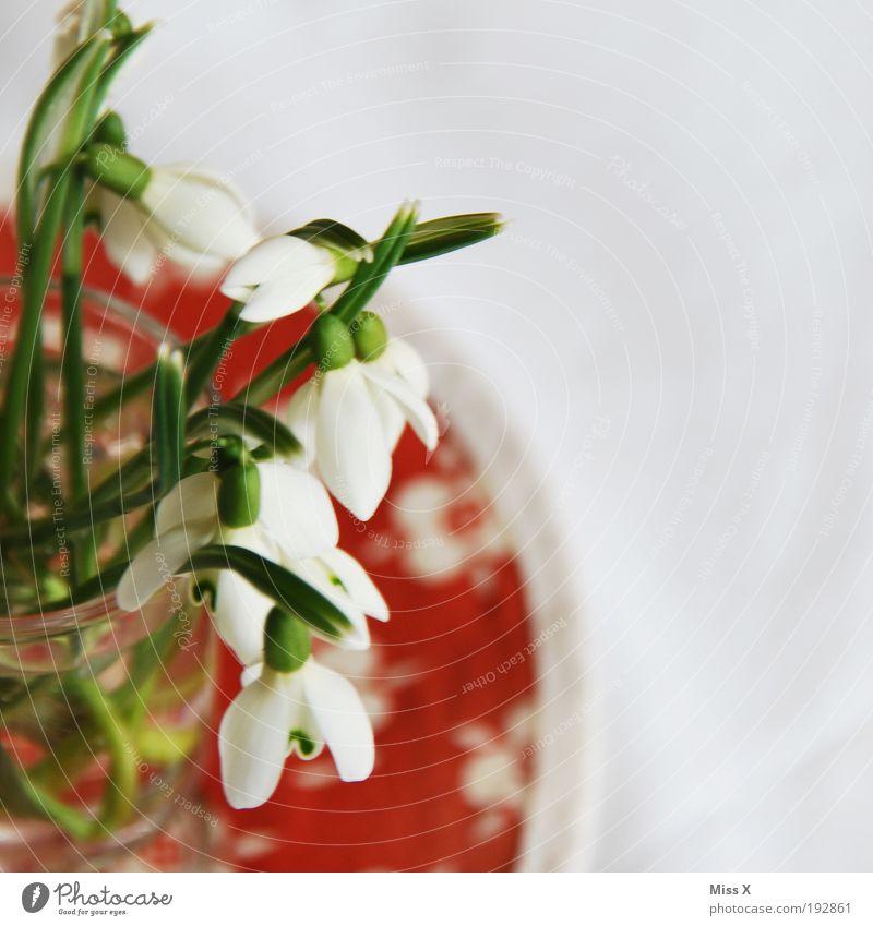 In der Vase Natur schön weiß Blume Pflanze Blüte Frühling Tisch frisch Dekoration & Verzierung Häusliches Leben Schneeglöckchen