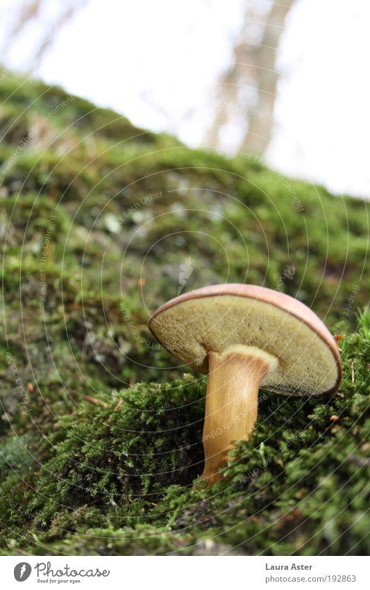 Ein schöner Pilz, ein zweiter Pilz Natur Wald Erde lecker Pilz Moos