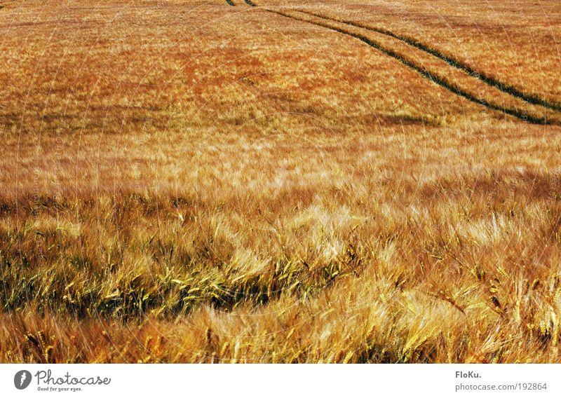 Reiche Ernte Lebensmittel Getreide Umwelt Natur Landschaft Pflanze Sommer Herbst Schönes Wetter Wind Gras Nutzpflanze Wiese Feld glänzend natürlich gelb gold